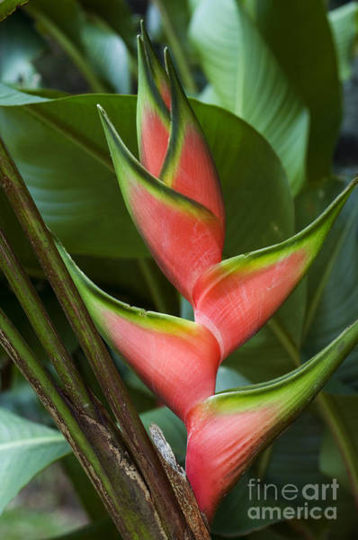Photograph - Heliconia 3 by Arterra Picture Library