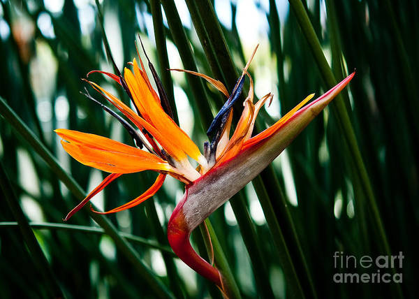 Heliconia Wall Art - Painting - Heliconia by Shijun Munns