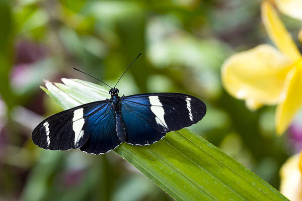Photograph - Heliconius Butterfly by Jack R Perry