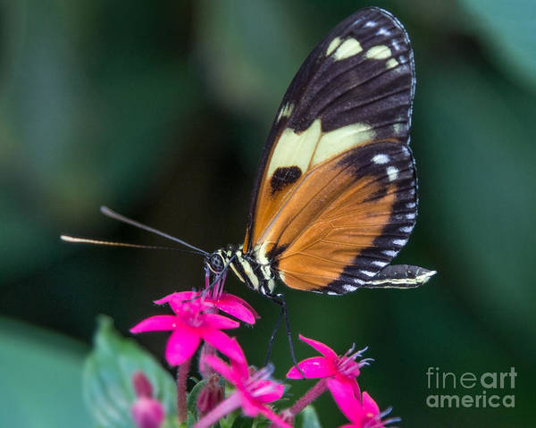 Photograph - Heliconius Ismenius by Bernd Laeschke