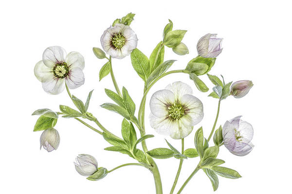 Wall Art - Photograph - Hellebore by Mandy Disher