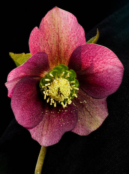 Photograph - Hellebore by Pete Hemington