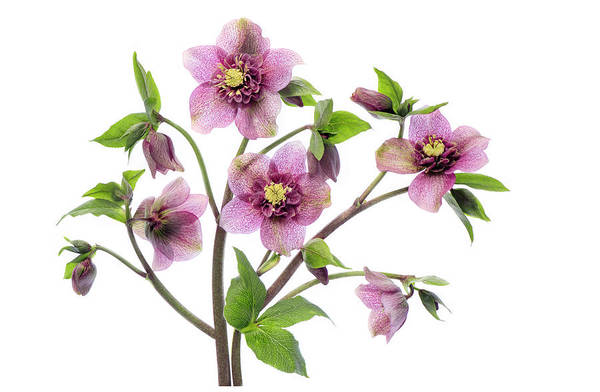 Wall Art - Photograph - Hellebore Tutu by Jacky Parker