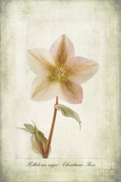 Rose Bud Photograph - Helleborus Niger by John Edwards