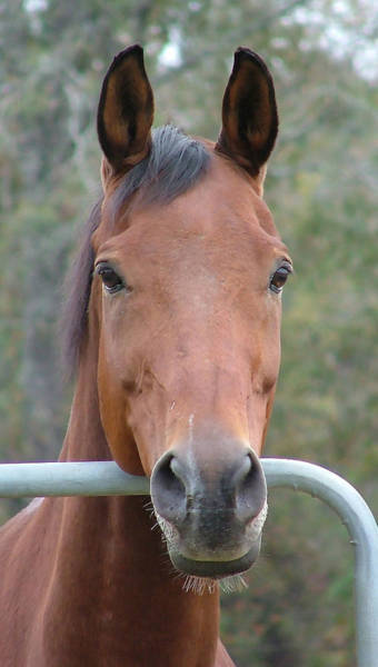 Photograph - Bay Horse by Philip Rispin