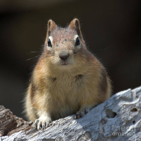 Photograph - Hello Chipmunk by Chris Scroggins