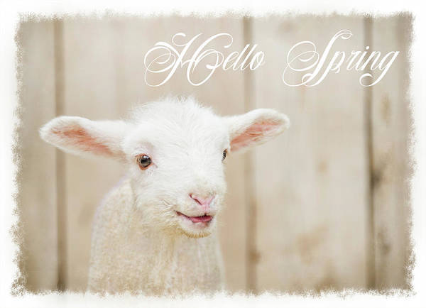Sheep Painting - Hello Spring Lamb by Ramona Murdock