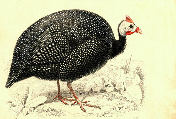 1800s Wall Art - Photograph - Helmeted Guineafowl by Collection Abecasis