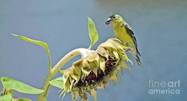 Sunflower Seeds Photograph - Helping With Harvest by Gwyn Newcombe