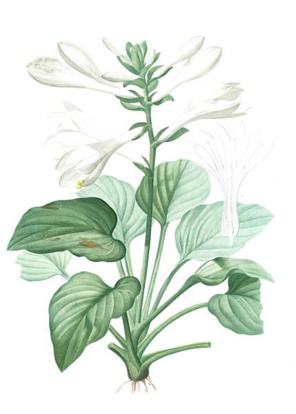 Magical Drawing - Hemerocallis Japonica, Hosta Plantaginea Hémérocalle Du by Artokoloro