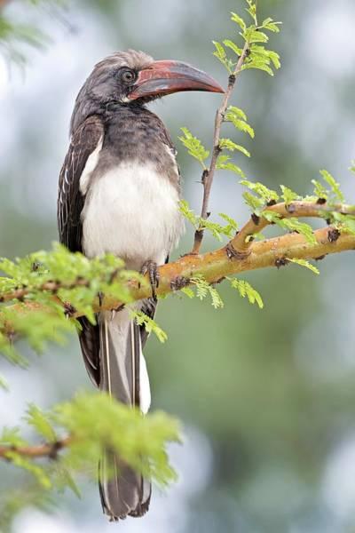 Ave Photograph - Hemprich's Hornbill by Tony Camacho