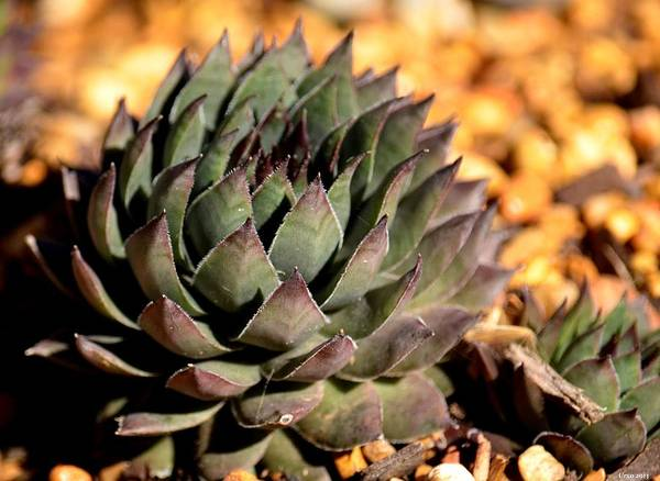 Wall Art - Photograph - Hen And Chicks Plant by Maria Urso