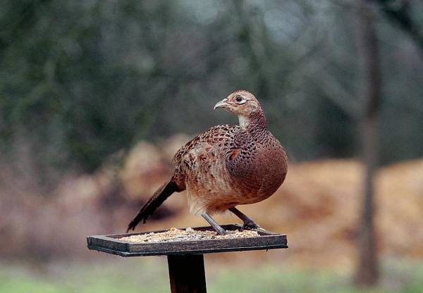 Bird Feeder Photograph - Hen Pheasant by Leslie J Borg/science Photo Library