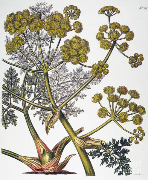 Photograph - Herbal: Fennel, 1819 by Granger