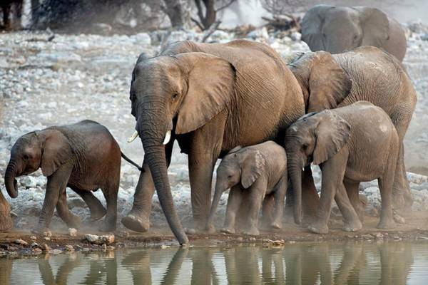 African Elephant Photograph - Herd Of African Elephants At A Water Hole by Tony Camacho