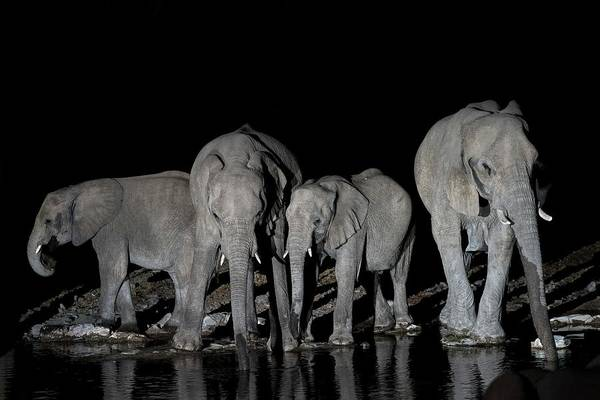 Behaviour Photograph - Herd Of African Elephants At A Water-hole by Tony Camacho/science Photo Library