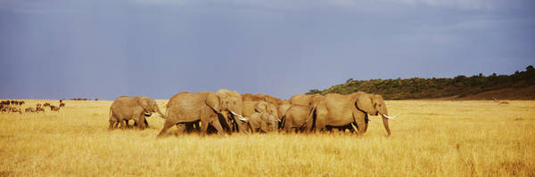 Wall Art - Photograph - Herd Of African Elephants Loxodonta by Animal Images
