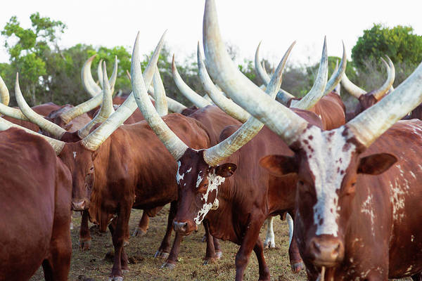 Mammal Photograph - Herd Of Ankole-watusi Cattle, Kenya by Martin Harvey
