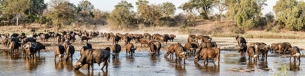 Syncerus Caffer Photograph - Herd Of Cape Buffalos Syncerus Caffer by Panoramic Images