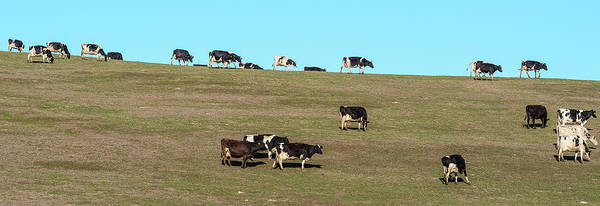 Wall Art - Photograph - Herd Of Cows Grazing On A Hill, Point by Panoramic Images
