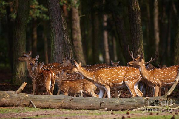 Photograph - Herd Of Deer In A Dark Forest by Nick  Biemans