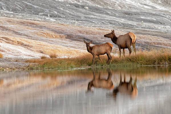 Elk Herd Photograph - Herd Of Elk And Reflection, Canary by Adam Jones