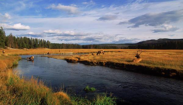 Elk Herd Photograph - Herd Of Elk Cervus Canadensis by Panoramic Images