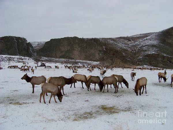 Photograph - Herd Of Elk by Charles Robinson