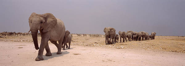 Wall Art - Photograph - Herd Of Female African Elephants by Animal Images