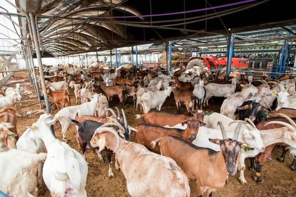 Milk Farm Photograph - Herd Of Goats by Photostock-israel