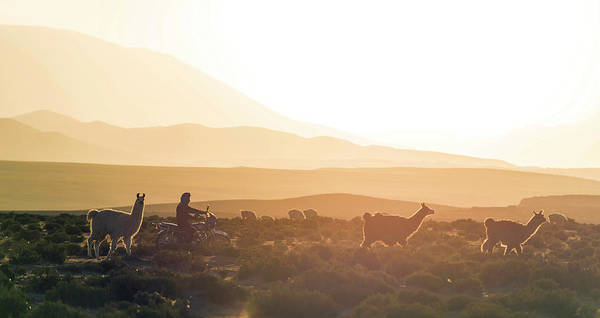 Scenic Wall Art - Photograph - Herd Of Llamas Lama Glama In A Desert by Panoramic Images