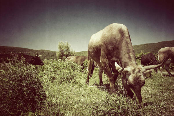 Agriculture Photograph - Herd Of Maremman Cows by Piola666