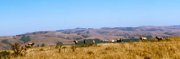 Elk Herd Photograph - Herd Of Roosevelt Elk Cervus Canadensis by Panoramic Images