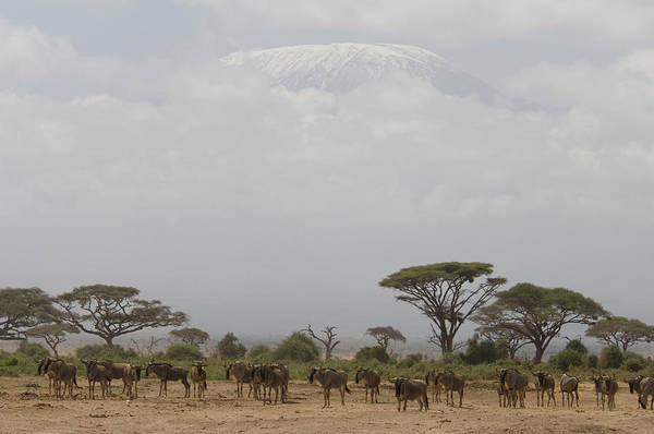 Mount Kenya Photograph - Herd Of Wildebeest In Plains With Mt by Animal Images