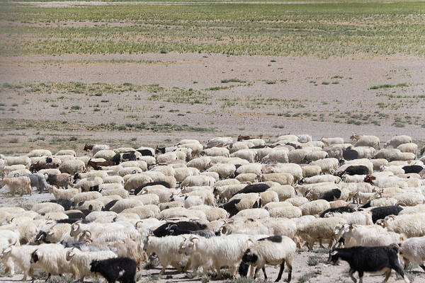 Mountain Goat Photograph - Herding Sheep In The Himalayas by Keren Su