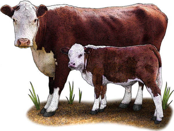 Wall Art - Photograph - Hereford Cow by Roger Hall