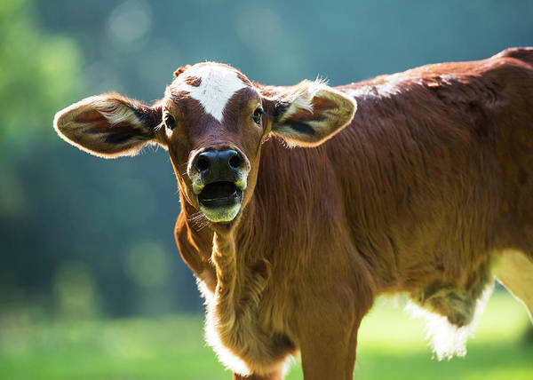 Wall Art - Photograph - Herford Calf Bawls For It S Mother by Mark Emery