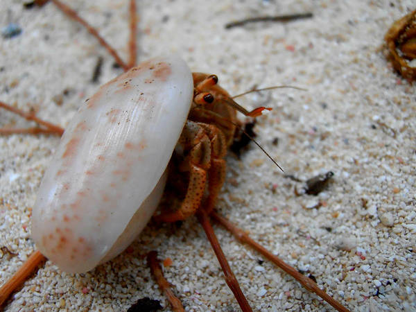 Photograph - Hermie The Crab by Kimberly Perry