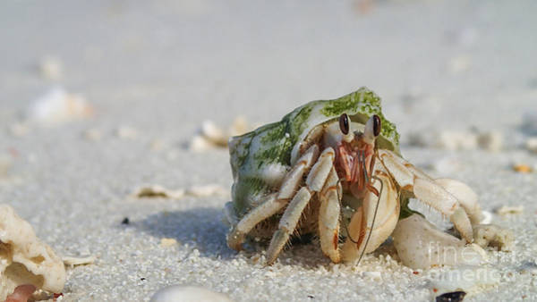 Photograph - Hermit Crab by Hannes Cmarits