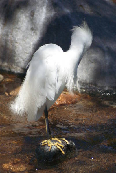 Photograph - Snowy Egret 1 by Dimitry Papkov