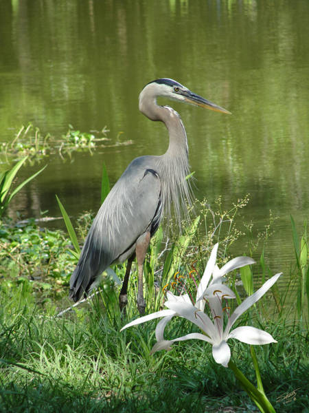 Heron And Swamp Lily Art Print by M Spadecaller