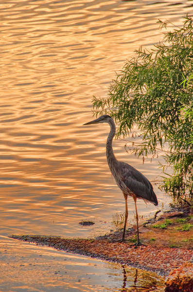 Photograph - Heron At Sunset by Beth Sawickie