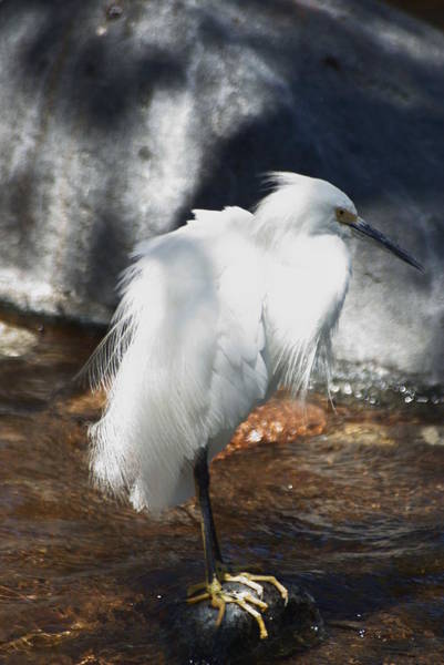 Photograph - Snowy Egret by Dimitry Papkov