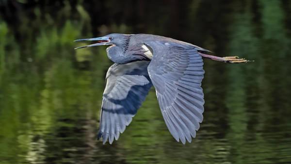 Photograph - Heron Flight by Bill Dodsworth