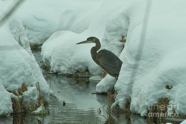 Mission Bc Photograph - Heron Hiding In Snow by Rod Wiens
