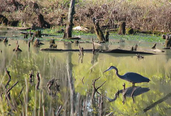 Wall Art - Photograph - Heron In Pond by Angie Vogel
