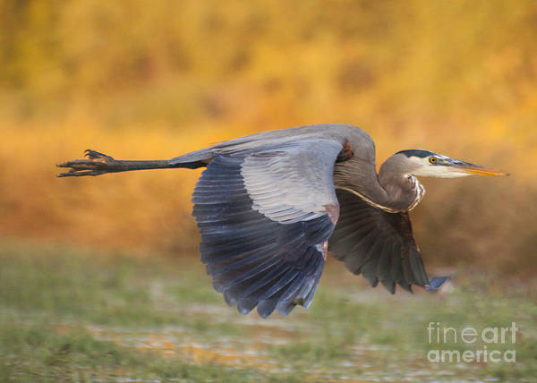 Wall Art - Photograph - Heron In The Autumn Skies by Ruth Jolly