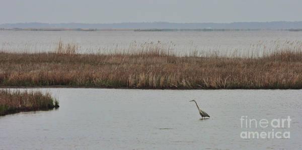 Photograph - Heron In The Marsh At Blackwater National Wildlife Refuge Near Cambridge Maryland by William Kuta