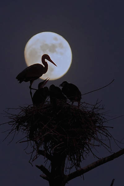 Heron Nest With Full Moon Art Print