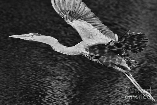 Photograph - Heron On The Move Up Close by Deborah Benoit